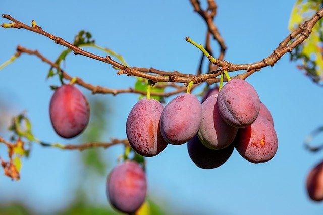 ovoce švestky.jpg